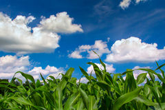 Green Corn Field Blue Sky in Summer Stock Photo