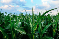 Green corn field,blue sky and sun on summer day. Stock Image