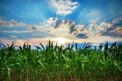 Green corn field,blue sky and sun on summer day. Conceived Stock Photography