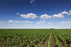 Green corn field,blue sky and sun on summer day Royalty Free Stock Photography