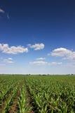 Green corn field,blue sky and sun on summer day Stock Photos