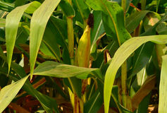 Green corn field Royalty Free Stock Image