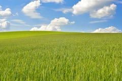 Green corn field with deep blue sky Stock Photos