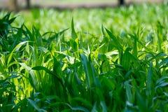 Green corn field Stock Photos