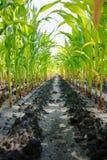 Green corn field Stock Photography