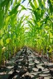 Green corn field Royalty Free Stock Photography