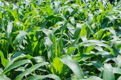 A green corn field, farming field Stock Photo