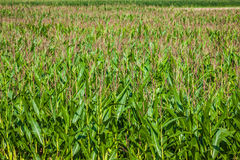 Green Corn field in the France.  stock image