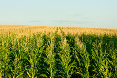 Green corn field - fresh and clean Royalty Free Stock Image