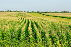 Green corn field - fresh and clean Royalty Free Stock Photography