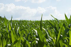 Green corn field Royalty Free Stock Photography