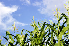 Green corn field growing up on blue sky. Royalty Free Stock Image
