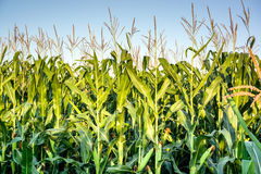 Green corn field growing up on blue sky. Summer agriculture landscape Royalty Free Stock Images