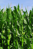 Green corn field growing up on blue sky Royalty Free Stock Photo