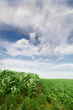 Green corn field Stock Photos