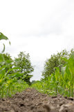 Green corn field with maize plants Stock Photography
