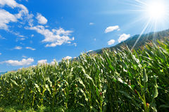 Green Corn Field in Mountain - Trentino Italy Stock Image