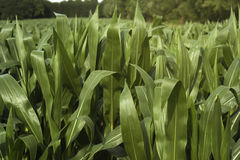 Green corn field Royalty Free Stock Photos