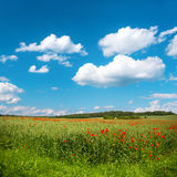 Green corn field with poppy flowers and blue sky Stock Photography