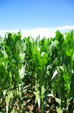 Green corn field at Portugal Royalty Free Stock Image