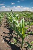 Green corn field Stock Image