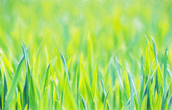Green corn field in spring, seasonal agricultural theme, illustr Royalty Free Stock Image