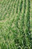 Green corn field in summer. A green field of corn (Zea mays) in summer season Stock Images