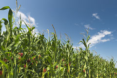 Green corn field Stock Image