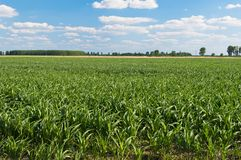 Green corn field in summer Stock Photos