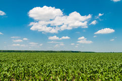 Green corn field in the summer sun. Green corn field in the summer with a blue sky Royalty Free Stock Photo