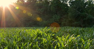 Green Corn Field Sun Flair Bugs Pan. Sun flair shining over trees illuminates a lush green corn field. Bug and insects fly above the back lit stalks of corn as stock video footage