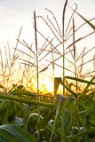 Green corn field at sunset Royalty Free Stock Image
