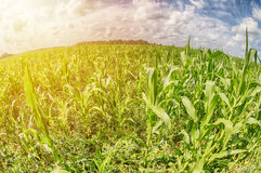 Green corn field with sunset and clouds. Fish eye lens. Royalty Free Stock Photography