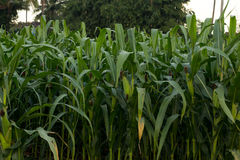 Green corn field in Thailand,Corn agriculture. Green nature. Rur. Al field on farm land in summer Stock Image