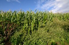 Green corn field under blue sky Royalty Free Stock Photos