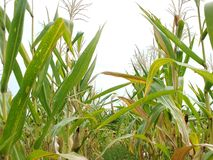 Green corn fields, businesses generating income, including Asian farmers. Green corn fields are flowering Generating businesses including Asian farmers royalty free stock images
