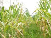 Green corn fields, businesses generating income, including Asian farmers. Green corn fields are flowering Generating businesses including Asian farmers stock photos