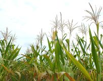 Green corn fields, businesses generating income, including Asian farmers. Green corn fields are flowering Generating businesses including Asian farmers royalty free stock image