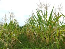Green corn fields, businesses generating income, including Asian farmers. Green corn fields are flowering Generating businesses including Asian farmers royalty free stock photo