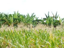 Green corn fields, businesses generating income, including Asian farmers. Green corn fields are flowering Generating businesses including Asian farmers stock image