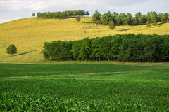 Green corn fields and forest on skyline. Stock Images
