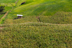 Green corn fields. Fresh corn field over the mountain range and blue sky in Thailand Stock Images