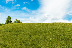 Green corn fields. Fresh corn field over the mountain range and blue sky in Thailand Stock Photo