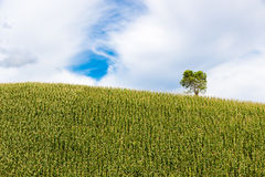 Green corn fields. Fresh corn field over the mountain range and blue sky in Thailand Stock Image