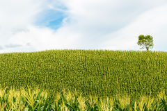 Green corn fields. Fresh corn field over the mountain range and blue sky in Thailand Stock Photography