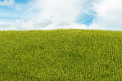 Green corn fields. Fresh corn field over the mountain range and blue sky in Thailand Stock Photos