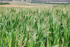 Green corn fields in La Noguera Stock Images