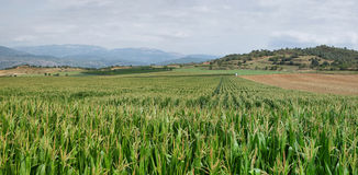 Green corn fields in La Noguera Royalty Free Stock Images