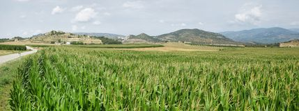 Green corn fields in La Noguera Royalty Free Stock Photo