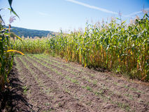 Green corn fields Royalty Free Stock Images